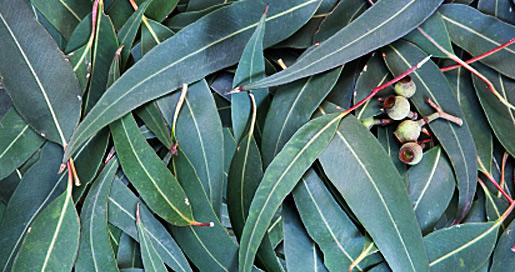 Eucalyptus Tub Tale