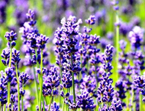 Lavender Healing Powers!