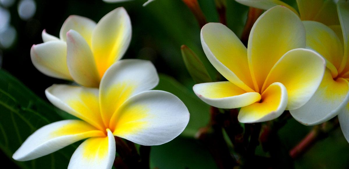magical-plumeria-frangipani-the-bathtub-diva